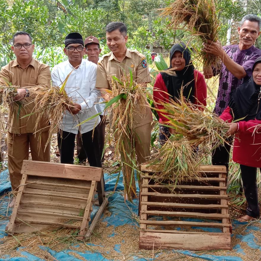 Panen padi Gogo di jorong Kubang bungkuak