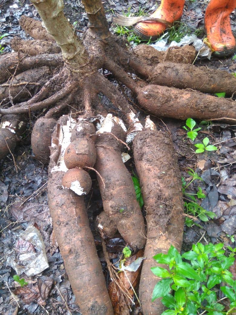 Pengolahan ubi kayu